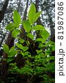 暗い森の中、透過光で鮮やかに光る新緑の葉 81987086