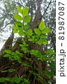 直線的な針葉樹と曲線を描く若木の葉 81987087
