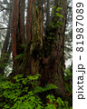 黄緑色が鮮やかな若木や若葉に囲まれたクロベの老木 81987089