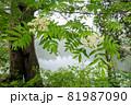 霧の中のナナカマドの花と湖面に逆さまで投影された木立 81987090