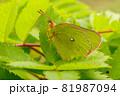 高原で自分と同じ黄緑色の葉に止まっている赤い縁取り模様のミヤマモンキチョウ 81987094