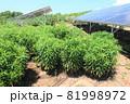 雑草が生い茂った太陽光発電所 81998972