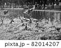 羽ばたく鴨と矢のように降り注ぐ水しぶき 82014207