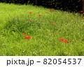緑の草が生い茂る中に点在する彼岸花(2) 82054537