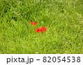 緑の草が生い茂る中に点在する彼岸花(3) 82054538