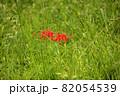 緑の草が生い茂る中に点在する彼岸花(4) 82054539