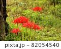 古木の傍らに咲く赤い彼岸花(1) 82054540