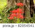 古木の傍らに咲く赤い彼岸花(2) 82054541