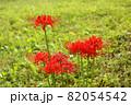 9月に咲き始めた妙正寺川近くの彼岸花(2) 82054542