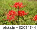 9月に咲き始めた妙正寺川近くの彼岸花(3) 82054544
