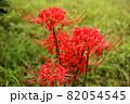 9月に咲き始めた妙正寺川近くの彼岸花(4) 82054545