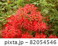 妙正寺川近くに咲く美しい曼珠沙華(5) 82054546
