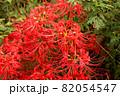妙正寺川近くに咲く美しい曼珠沙華(6) 82054547