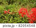 9月に咲き始めた妙正寺川近くの彼岸花(5) 82054548