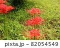 9月に咲き始めた妙正寺川近くの彼岸花(6) 82054549