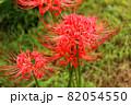 妙正寺川近くに咲く美しい曼珠沙華(7) 82054550