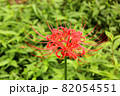 妙正寺川近くに咲く美しい曼珠沙華(8) 82054551