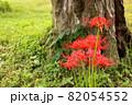古木の傍らに咲く赤い彼岸花(3) 82054552
