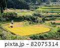黄金色に輝く棚田で稲刈りをする4人 82075314