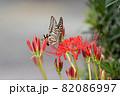 彼岸花にとまるアゲハチョウ 82086997