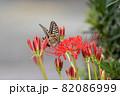 彼岸花にとまるアゲハチョウ 82086999