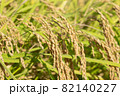 黄色に色づく稲穂 (9月) 農業 82140227