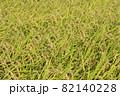 黄色に色づく稲穂 (9月) 農業 82140228