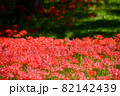 彼岸花の群生する公園(アゲハ蝶入り) 82142439