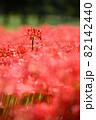 彼岸花の縦写真のイメージ 82142440