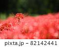 彼岸花のイメージ 82142441