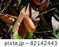 森の中の椎の実のクローズアップ(どんぐり) 82142443