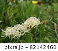 野原に咲く白い彼岸花 82142460