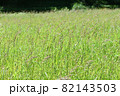 タイヌビエ(田犬稗)の群生 82143503