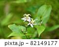 ヤマジノホトトギス(山路の杜鵑草) 82149177