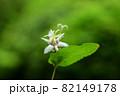 ヤマジノホトトギス(山路の杜鵑草) 82149178