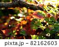 秋になり赤く色づく植物の葉 82162603