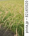 稲刈り前の稲穂 82165020