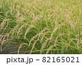 稲刈り前の稲穂 82165021