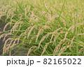 稲刈り前の稲穂 82165022