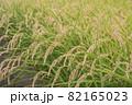 稲刈り前の稲穂 82165023