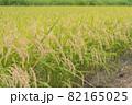 稲刈り前の稲穂 82165025