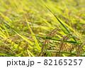 黄色に色づく稲穂 (9月) 農業 82165257