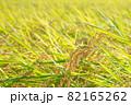 黄色に色づく稲穂 (9月) 農業 82165262