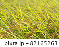 黄色に色づく稲穂 (9月) 農業 82165263