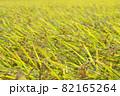 黄色に色づく稲穂 (9月) 農業 82165264