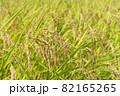 黄色に色づく稲穂 (9月) 農業 82165265