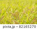 黄色に色づく稲穂 (9月) 農業 82165270