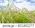 黄色に色づく稲穂と青空 (9月) 農業 82165277