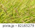 黄色に色づく稲穂 (9月) 農業 82165279