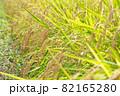 黄色に色づく稲穂 (9月) 農業 82165280